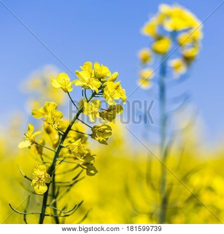 Square Crop Of Rapeseed Flowers