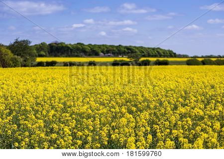 A road & a line of trees separates a pair of brightly coloured rapeseed flower fields in Crosby North of Liverpool.