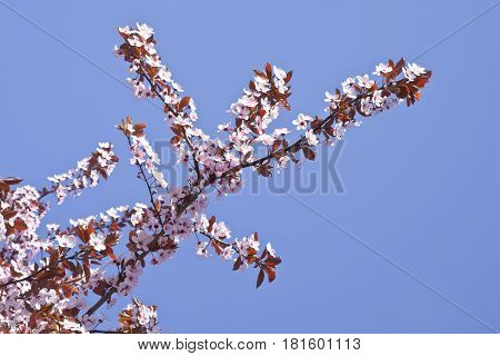 Beautifully blossoming reddish plum blossom. Background. Texture. Branches of flowering plum with pink flowers.