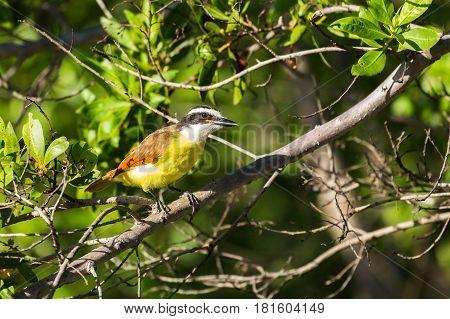 Great Kiskadee In A Tree