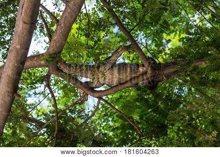 Black Iguana In The Tree Tops