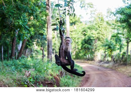 A White Faced Capuchin Swings From A Branch