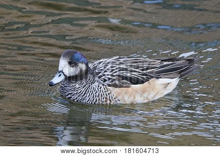Chiloe wigeon swimming in water in its habitat