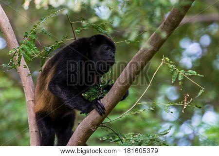 Howler Monkey Climbing Up