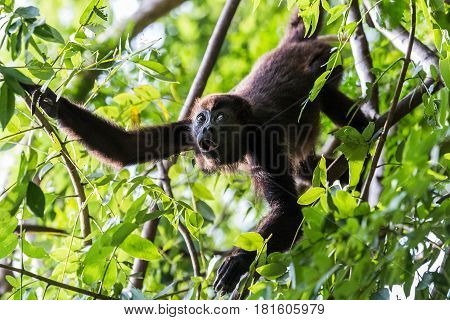 A Howler monkey reaches out for its next mouthful of food in the treetops of a Costa Rican dry forest one afternoon.