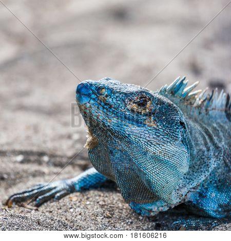 Square Crop Of A Black Iguana
