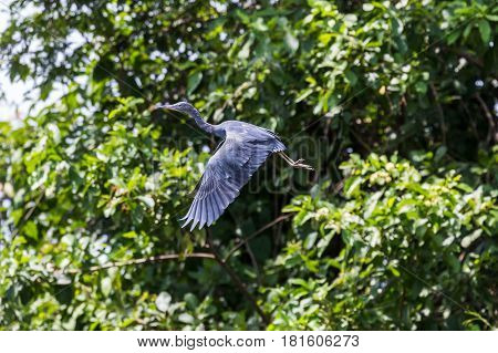 Little Blue Heron Taking To The Skies