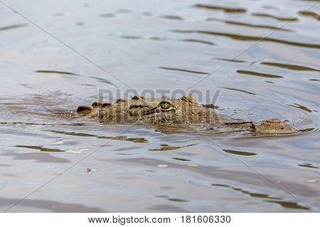 American Crocodile Lurking In The Water