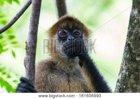 Spider Monkey Filling Up On Fruit