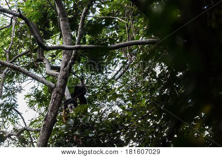 Howler Monkey Calling Out From The Treetops