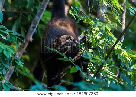 Howler Monkey Enjoying Some Leaves