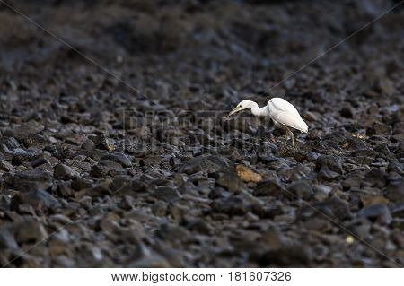 A Great egret forages for crabs & small fish in the rocks on the coast of Guanacaste Costa Rica early one morning.