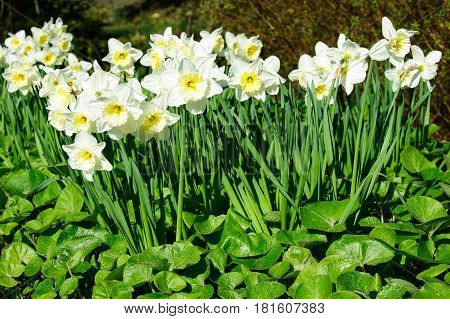 White Narcissus blossom on a sunny spring time day