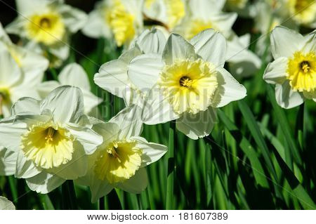 White Narcissus on a sunny spring time day