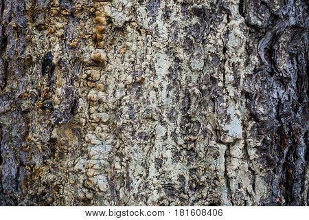 Natural background. Wooden texture. Spruce bark with dried resin on it.