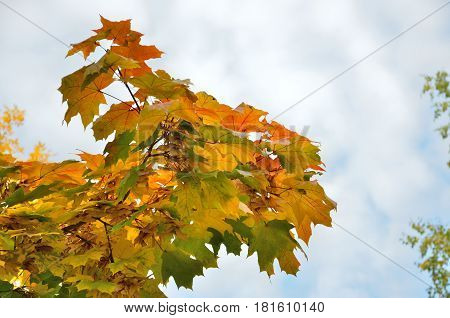 The autumn maple leaves on a branch against the sky