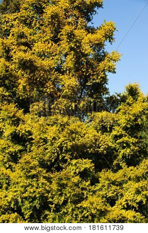 The Salicaceae tree on a spring sunny day ( willow family plant)
