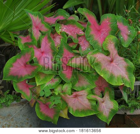 Cluster of pink and green elephant ear colocasia plants in a border flower bed, Songkhla, Thailand