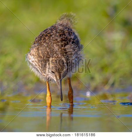 Black-tailed Godwit Wader Bird Chick Looking For Foor
