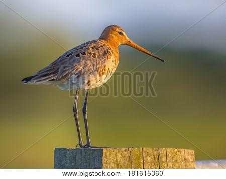 Black-tailed Godwit