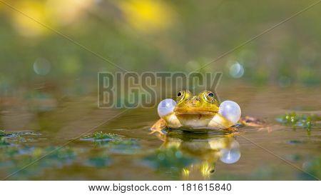 Croaking Green Frog