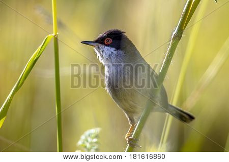 Sardinian Warbler Perched On Grass Stem And Looking To Side