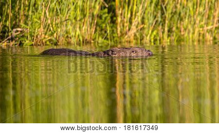 Swimming Beaver In Water With Reflections