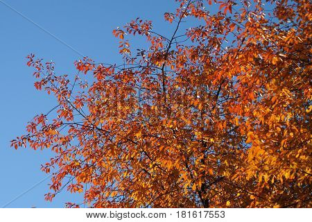 Golden autumn tree on blue sky background. Yellow leaves on branches with autumn coloring of nature.