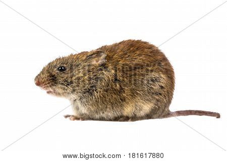 Wild Bank Vole Mouse Sitting