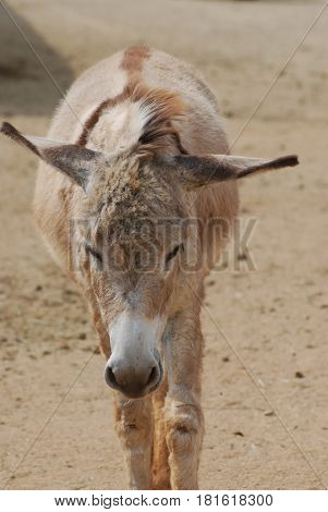 Absolutely adorable shaggy wild donkey in Aruba.
