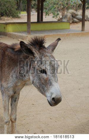 Wild donkey sanctuary on th etropical island of Aruba.