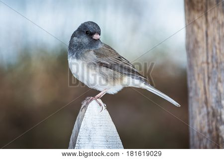 Dark eyed Junco songbird perched on a white fence