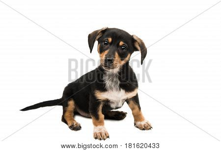 Dachshund badger dog isolated on white background