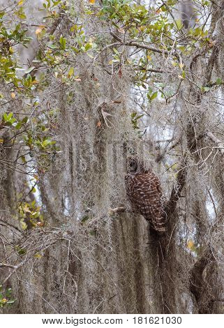 Barred owl in a tree surrounded by cypress moss
