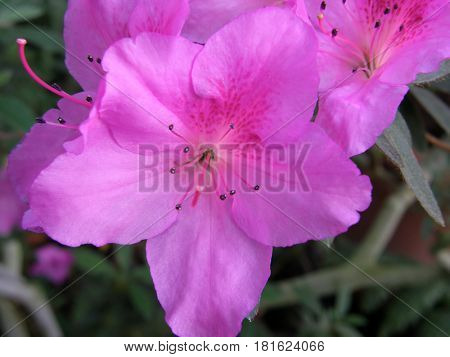 rhododendron. Very beautiful flowers.