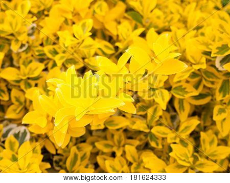 Lovely Yellow Flower Bush Shrub In The Golden Sunlight And Shine In Spring And Summer, Glowing And S