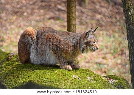 Eurasian Lynx On Moth Stone In Forest