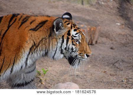 Close Up Side Portrait Of Siberian Amur Tiger