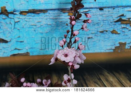 PRUNUS CERASIFERA/ `PISSARDII NIGRA`/cherry plum/myrobalan plum/ This is branch of  ornamental cherry plum is popular in demand for its deep burgundy leaves, almost no maintenance at all and no special soil requirements. poster