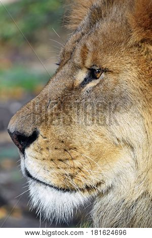 Close Up Side Portrait Of Male African Lion