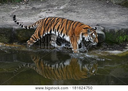 Siberian Tiger Walks In Water In Zoo