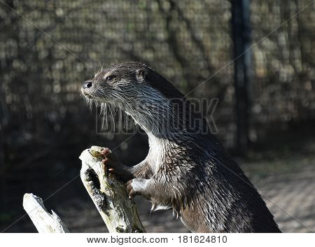 One Wet Giant River Otter Out Of Water In Zoo