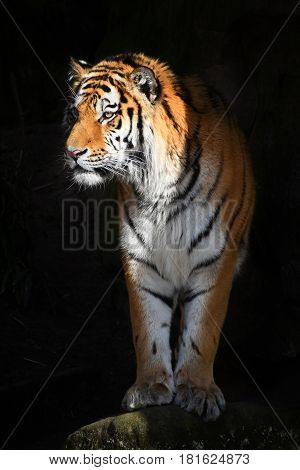 Siberian Tiger Looks Out Of The Dark Shadow