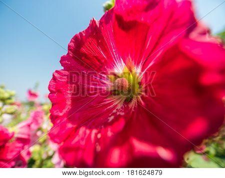 Red hollyhocks or Alcea rosea flower in natural park