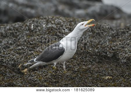 Lesser Black-backed Gull Standing On Seaweed Covered Rock