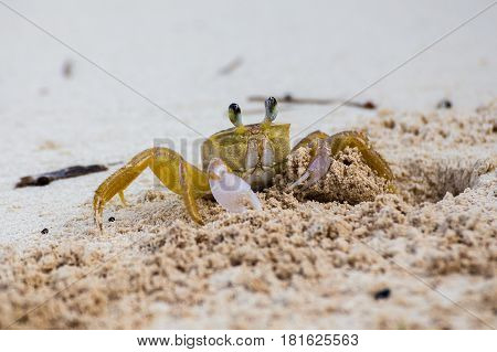 An adult sand crab heaves a pile of sand out of its burrow on the beach at Cayo Guillermo Cuba. These typically came out onto the beach in search of food twice a day once at sunrise & again shortly before sunset - the cooler times of the day.