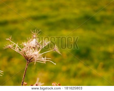 A Wind Swaying Brown Twig Plant with Dead Heads