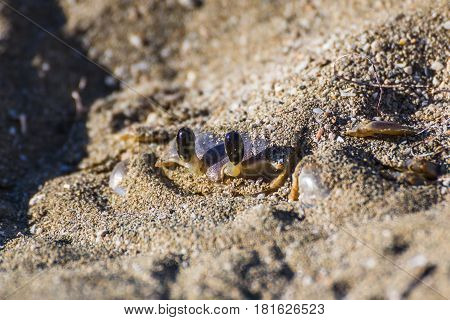 Sand/ghost crab seen hiding on the beach at Playa Yaguanbo in the province of Cienfuegos Cuba.