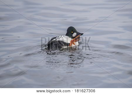 Goldeneye Duck, Male, In A Loch, Preening Itself