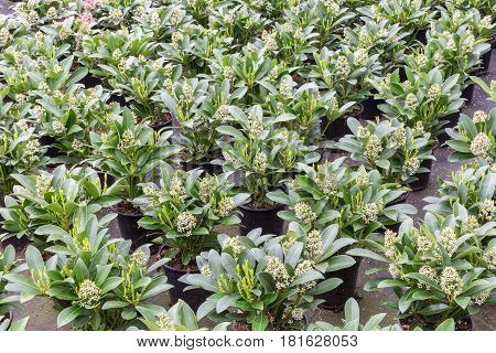 Cultivation of shrub plants (Skimmia) in flowerpots in a Dutch greenhouse